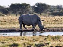 Southern White rhinoceros, Ceratotherium simum simum, female with baby going to waterhole in Botswana. The Southern White rhinoceros, Ceratotherium simum simum royalty free stock photos
