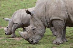 Southern white rhinoceros Ceratotherium simum. Southern white rhinoceros Ceratotherium simum simum. Female rhino with its newborn baby Stock Photography