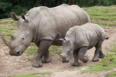 Southern white rhinoceros Ceratotherium simum. Southern white rhinoceros Ceratotherium simum simum. Female rhino with its newborn baby Royalty Free Stock Photography