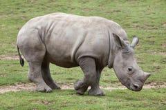 Southern white rhinoceros Ceratotherium simum. Southern white rhinoceros Ceratotherium simum simum. Little rhino Stock Photo