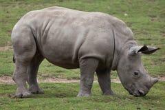 Southern white rhinoceros Ceratotherium simum. Stock Photos