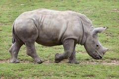 Southern white rhinoceros Ceratotherium simum. Stock Photo