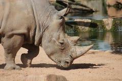 Southern White Rhinoceros - Ceratotherium simum simum Stock Images