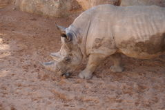 Southern White Rhinoceros - Ceratotherium simum simum Royalty Free Stock Photo