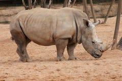 Southern White Rhinoceros - Ceratotherium simum simum Royalty Free Stock Image