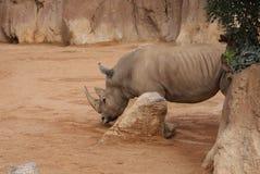 Southern White Rhinoceros - Ceratotherium simum simum Royalty Free Stock Images