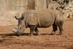 Southern White Rhinoceros - Ceratotherium simum simum Stock Photo