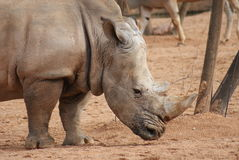 Southern White Rhinoceros - Ceratotherium simum simum Royalty Free Stock Photos