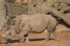 Southern White Rhinoceros - Ceratotherium simum simum Stock Photography