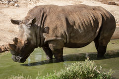 Southern white rhinoceros Ceratotherium simum simum.  Royalty Free Stock Images