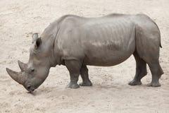 Southern white rhinoceros Ceratotherium simum simum. Royalty Free Stock Photo