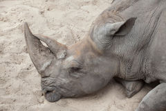 Southern white rhinoceros Ceratotherium simum simum. Southern white rhinoceros Ceratotherium simum simum Royalty Free Stock Images