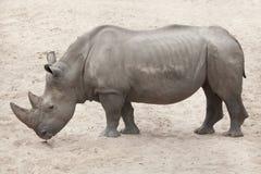 Southern white rhinoceros Ceratotherium simum simum. Royalty Free Stock Photos