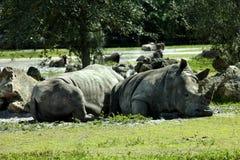 Southern White Rhinoceros (Ceratotherium simum simum) Royalty Free Stock Image
