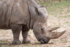 Free Southern White Rhinoceros Ceratotherium Simum Simum. Critically Endangered Animal Species Royalty Free Stock Photos - 171362168