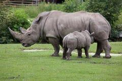 Southern white rhinoceros Ceratotherium simum simum. Female rhino feeding its newborn baby. Wildlife animal Stock Image