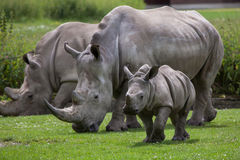 Southern white rhinoceros (Ceratotherium simum simum). Female rhino with its newborn baby. Wildlife animal Royalty Free Stock Photo