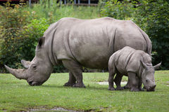 Southern white rhinoceros Ceratotherium simum simum. Female rhino with its newborn baby. Wildlife animal Royalty Free Stock Image