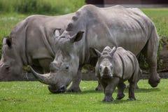 Southern white rhinoceros (Ceratotherium simum simum). Female rhino with its newborn baby. Wildlife animal Royalty Free Stock Image