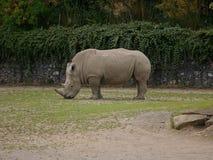 Southern White Rhinoceros / Ceratotherium simum simum grazing on grass. stock photos