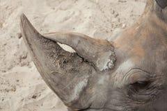 Southern white rhinoceros Ceratotherium simum simum. Horn of the Southern white rhinoceros Ceratotherium simum simum Stock Photography
