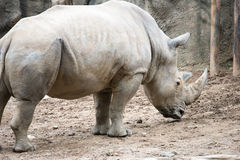Southern white rhinoceros Ceratotherium simum simum at Philadelphia Zoo Royalty Free Stock Image
