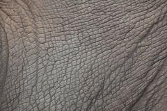 Southern white rhinoceros Ceratotherium simum simum. Skin texture Royalty Free Stock Photo