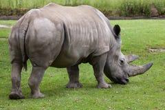 Southern white rhinoceros (Ceratotherium simum simum). Wildlife animal Stock Image