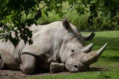 Southern white rhinoceros (Ceratotherium simum simum). Wildlife animal Royalty Free Stock Photography