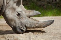 Southern white rhinoceros (Ceratotherium simum simum). Wildlife animal Royalty Free Stock Photo