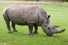 Southern white rhinoceros Ceratotherium simum simum. Wildlife animal Stock Image