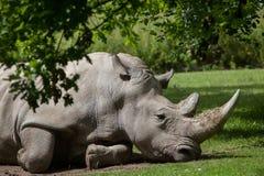 Southern white rhinoceros Ceratotherium simum simum. Wildlife animal Royalty Free Stock Image