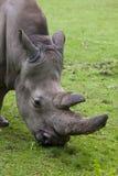 Southern white rhinoceros Ceratotherium simum simum. Southern white rhinoceros (Ceratotherium simum simum). Wildlife animal Stock Image