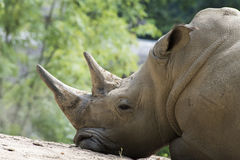 Southern white rhinoceros. White rhinoceros - detail of the head with two horns Royalty Free Stock Image