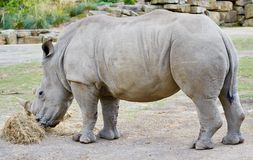 Southern White Rhinoceros Stock Photography