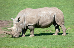 Southern White Rhinoceros grazing in a field Stock Photos