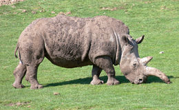 Southern White Rhinoceros grazing in a field Royalty Free Stock Image