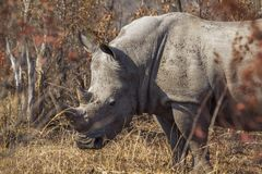 Southern white rhinoceros in Kruger National park, South Africa. Specie Ceratotherium simum simum family of Rhinocerotidae royalty free stock images