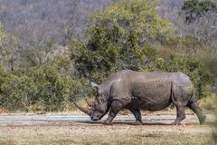 Southern white rhinoceros in Kruger National park, South Africa. Specie Ceratotherium simum simum family of Rhinocerotidae stock image