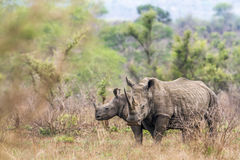 Southern white rhinoceros in Kruger National park, South Africa Stock Photography