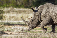 Southern white rhinoceros in Kruger National park, South Africa. Specie Ceratotherium simum simum family of Rhinocerotidae, Southern white rhinoceros in Kruger Royalty Free Stock Photo