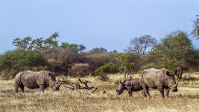 Southern white rhinoceros in Kruger National park, South Africa Royalty Free Stock Photography