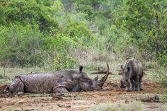 Southern white rhinoceros in Kruger National park, South Africa. Specie Ceratotherium simum simum family of Rhinocerotidae, mother and baby Southern white stock photography
