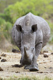 Southern white rhinoceros in Kruger National park Stock Photos