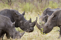 Southern white rhinoceros in Kruger National park Royalty Free Stock Photography