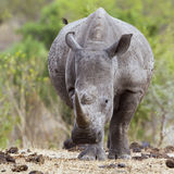 Southern white rhinoceros in Kruger National park Stock Photo
