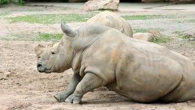 Southern white rhinoceros (lat. Ceratotherium simum simum) stock video