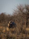 Southern white rhinoceros. A southern white rhinoceros lurking in the naked bushes of Etosha National Park, Namibia, Africa Royalty Free Stock Photos