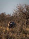 Southern white rhinoceros Royalty Free Stock Photos