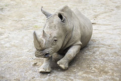 Southern White Rhinoceros. Stock Images